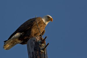 Perched Bald Eagle by bovey-photo