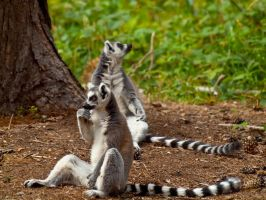 Ring Tailed Lemur 01 - July 11 by mszafran