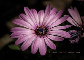 Gerber Daisy by SharonLeggDigitalArt