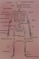 Skeleton Front View by CLBailey