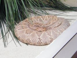 rattlesnake by mousey57