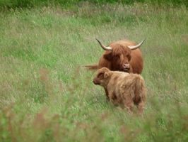 cow and calf by harrietbaxter
