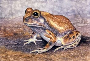 Russet-backed Sand Frog by WillemSvdMerwe