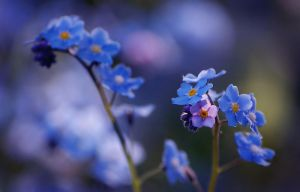 Forget me not by Fragoline