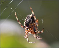 Spider by FrankAndCarySTOCK