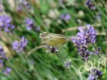 Butterfly likes Lavender by Nic1ky