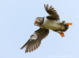 Puffin with Capelin by FForns