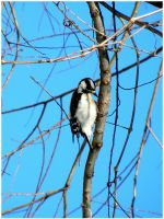 Female Downy Woodpecker by SuicideBySafetyPin