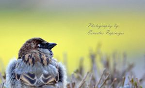 Sparrow by Ernis94