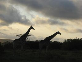Evening giraffes by coginamachine