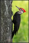 Pileated Woodpecker by juddpatterson