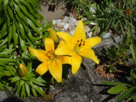 Asiatic Lilies by MagnificentObsession