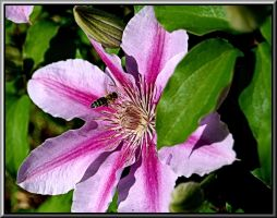 Bee On Clematis by TThealer56