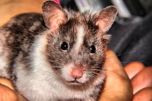 HDR Syrian Hamster by TMProjection