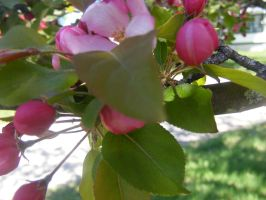 apple blossom 2 by BlueIvyViolet