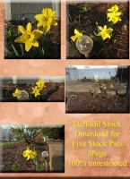 Daffodil Stock Pictures for Spring by WDWParksGal-Stock