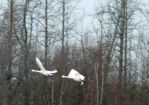 Tundra Swans in flight by Sybaristail