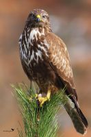 Common buzzard by ardanuc
