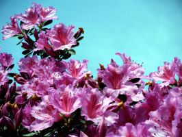 Pink flowers, blue sky by Starless10