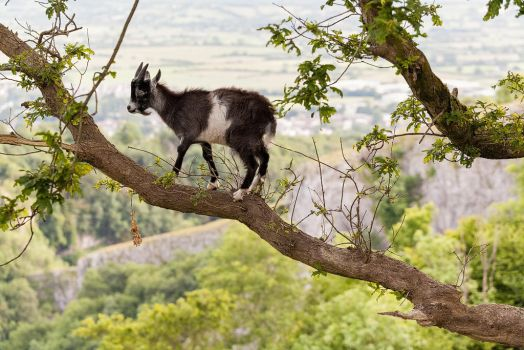 Cheddar Gorge Goat by JakeSpain