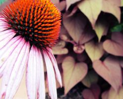 Coneflower II by MizJayTee