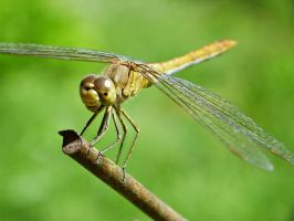 brown dragonfly 2 by D-u-D