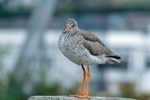 Redshank by Tinap