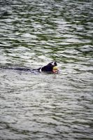 Dog In Water 2 by Takeshi-Toga