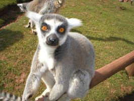 Ring tailed Lemur by samantha-720
