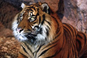 Sumatran Tiger by Sabbie89
