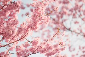 almond blossoms by barbko