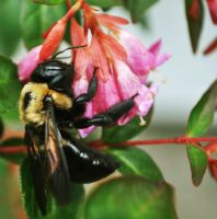 Carpenter Bee by Xandriia1