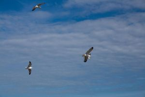Flying gulls 4 by joannastar-stock