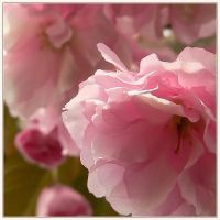 baroque blossom cherry by Wilithin