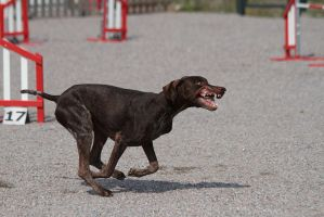 Agility: German Short-Haired Pointer by furbyprince