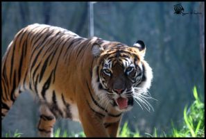 Sumatran Tiger 7 by Mkatpro11