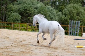 Arab canter tail long but down by Chunga-Stock