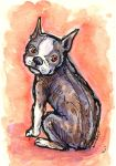 Boston Terrier by angelac