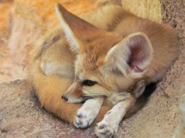 Soft Fox by kanes
