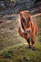 Welsh Pony by CharmingPhotography