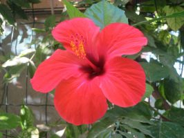 Hibiscus by Kitsch1984