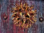 Sweetgum Tree Seed Pod -HDR- by tripptaylor