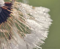 Dandelion by Milasery