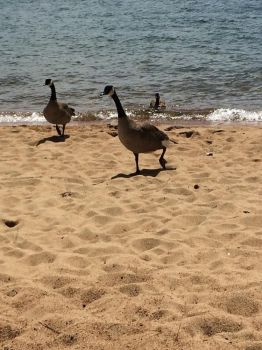 Geese on the Beach by The-Silver-Doe394