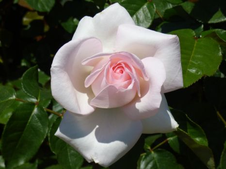 White Rose by Lucy3DS