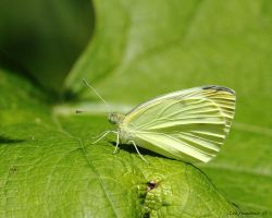 Mustard White Butterfly by natureguy