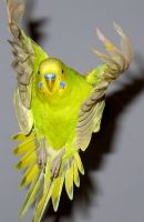 Budgie flying by greencheek