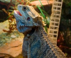 Bearded Dragon 2 by LilPeteMordino