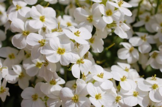 White flowers 2 by SimbaHarley