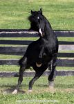 black stallion rearing 3 by venomxbaby
